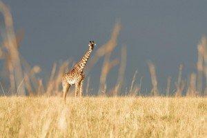 safari kenya masai mara