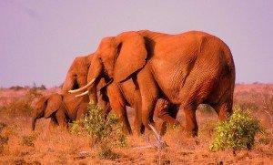 safari-kenya-elephant