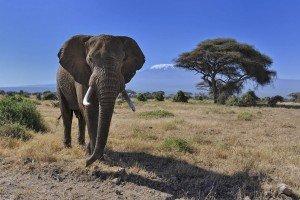 safari-kenya-elefanti-amboseli-kilimanjaro
