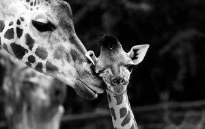 safari-kenya-giraffe