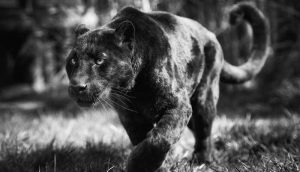 safari-kenya-luxury-black-panther