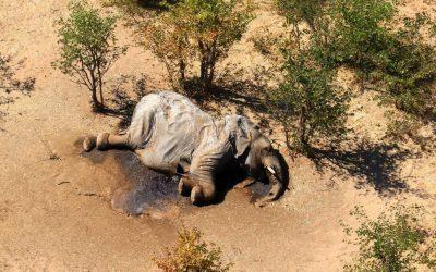 Il mistero degli elefanti morti in Botswana