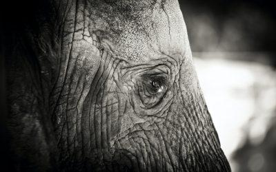 Il comportamento degli elefanti