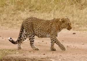 safari kenya leopard