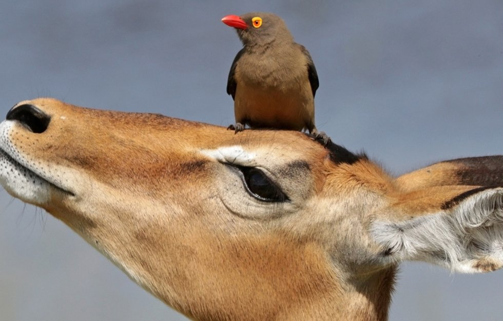 "The ""not so innocent"" mutualism between oxpeckers and herbivores"