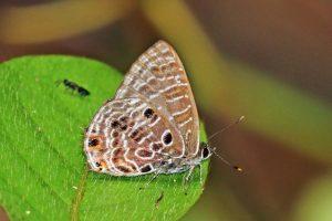 ants and butterfly symbiosis safari kenya
