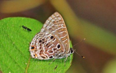 Una speciale simbiosi tra farfalle e formiche africane