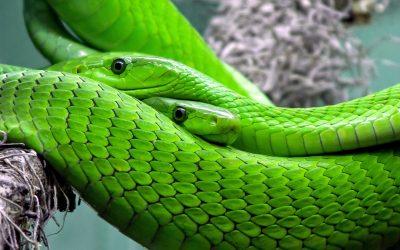Perché il veleno dei serpenti è così tossico?